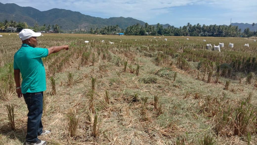 Pemilik sawah, yang menunjukan hasil panen raya, yang ditinglakan begitu saja