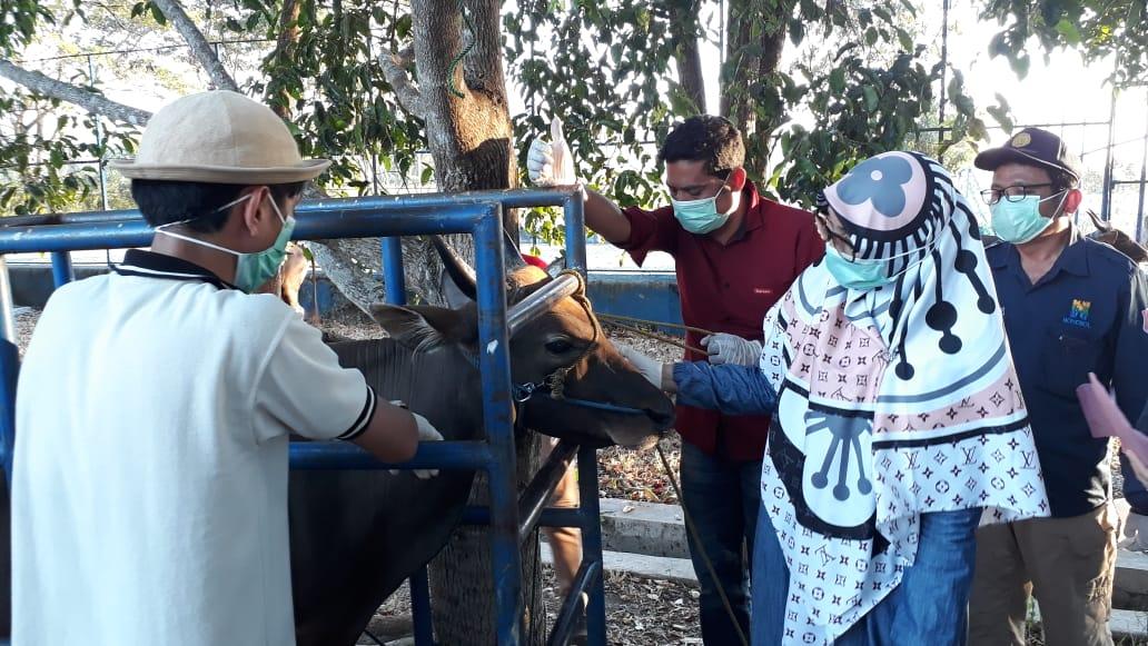 Hewan Qurban di Bone Bolango, dilakukan pemeriksaan kesehatan