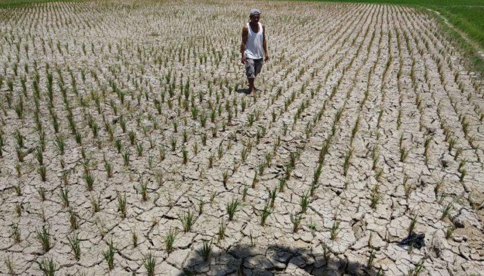 Sedikitnya ada 800 hektare lahan sawah mengalami gagal panen