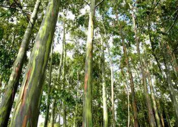 Pohon Ampupu yang banyak tumbuh di Cagar Alam Mutis, NTT. (Foto : istimewa).