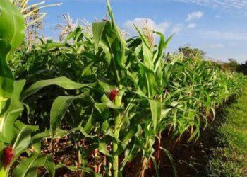 Ilustrasi tanaman jagung. (Foto : Istimewa).