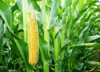 Ilustrasi tanaman jagung, (Foto : Istimewa).