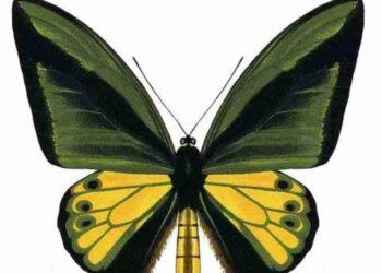 Kupu-kipu Ornithoptera goliath atau biasa dikenal dengan Goliath Bordwing. Salah satu kupu-kupu yang hidup di tanah Papua. IST