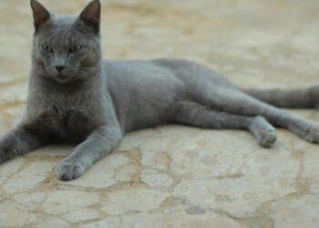 Kucing Busok. Kucing endemik asal Pulau Raas. WIKI COMMON