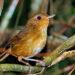 Ilustrasi Burung pelanduk tickelli / buff-breasted babbler