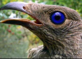 Burung namdur atau juga disebut dengan burung kucing hanya terdapat di Australia dan Pulau Papua (Indonesia dan Papua Nugini). WIKI COMMON
