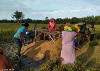 Sejumlah petani di Kecamatan Tolinggula, Kabupaten Gorontalo Utara memanen padi dengan menggunakan perontok padi, Jumat (28/5/2021). Meski tidak memanen semi otomatis seperti combine harvester, alat ini bisa menghasilkan kualitas panen padi yang cukup baik. (Foto: istimewa).
