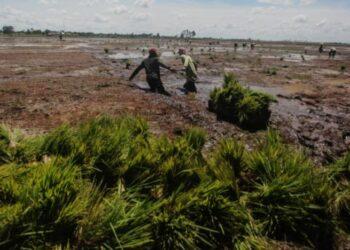 Petani menarik bibit padi jenis Inpari 42 untuk di tanam di areal 'Food Estate' Dadahup di Desa Bentuk Jaya, Kabupaten Kapuas, Kalimantan Tengah, Rabu (21/4/2021). ANTARA/ Makna Zaesar