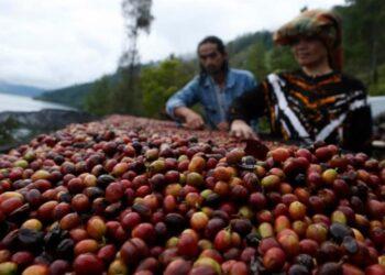 Petani memanen kopi arabika Gayo di Takengon, Aceh Tengah, Aceh. ANTARA FOTO/Irwansyah Putra