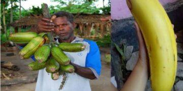 Penampakan pisang raksasa asal Arfak, Papua. Indoflashlight.org