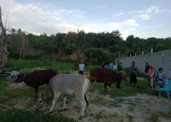 Dokumentasi penyerahan sapi di Kecamatan Buntulia. (Foto : Istimewa)