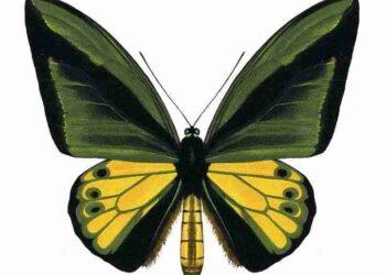 Kupu-kupu Ornithoptera goliath atau biasa dikenal dengan Goliath Birdwing. Salah satu kupu-kupu yang hidup di tanah Papua. IST